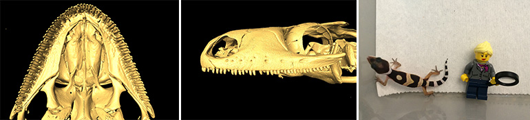 Micro-CT scan of a gecko skull (L, C). Gecko and Lego figure.
